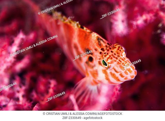 Dwarf hawkfish - Cirrhitichthys aprinus - Moalboal - Cebu - Philippines