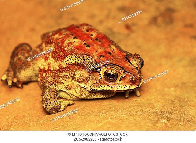 Indan Toad, Duttaphrynus melanostictus, Mulshi, Pune District, Maharashtra, India