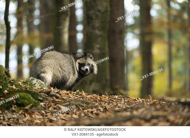Raccoon dog ( Nyctereutes procyonoides ), adult animal, invasive species, stands in a forest, watches back, autumnal colors, Europe