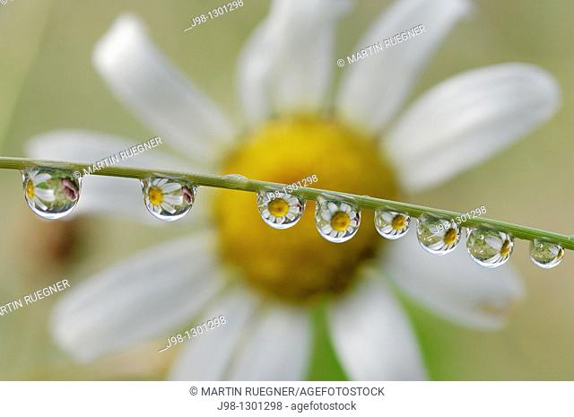 Dewdrops with flower in background  Olympic National Park, Olympic Peninsula, Pacific Northwest, Washington State, USA, America