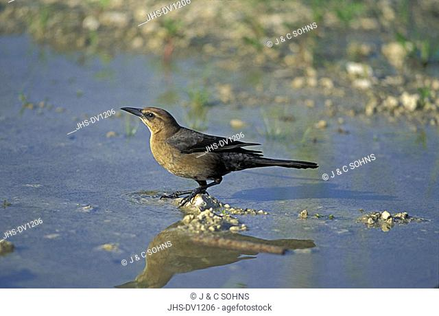Boat-Tailed Grackle Quiscalus quiscula Florida USA