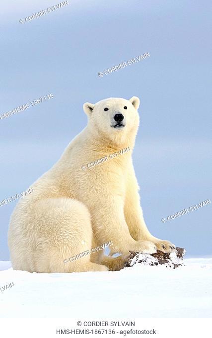 United States, Alaska, Arctic National Wildlife Refuge, Kaktovik, polar bear (Ursus maritimus)