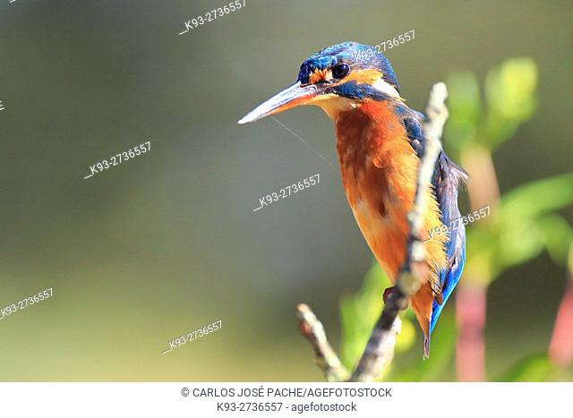 Spain, Common kingfisher (Alcedo atthis) perching on branch