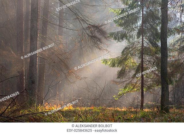 autumnal morning in the forest with mist among pines and spruce trees,bialowieza forest,poland,europe