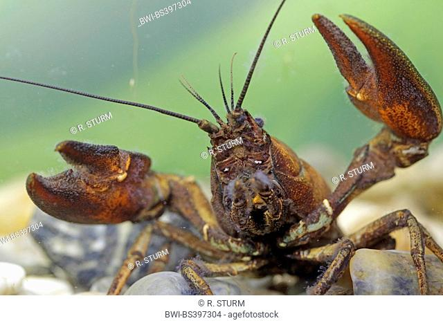 signal crayfish (Pacifastacus leniusculus), threatening posture of the male, portrait, Germany, Bavaria