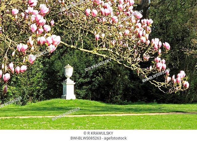 saucer magnolia Magnolia x soulangiana, Magnolia soulangiana, Magnolia x soulangeana, Magnolia soulangeana, Woerlitz Park, view on the Dietrich urn, Germany