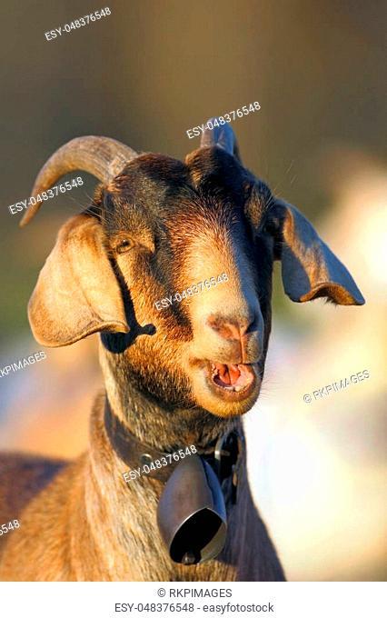 Head shot of Nubian Goat standing at pasture , calling