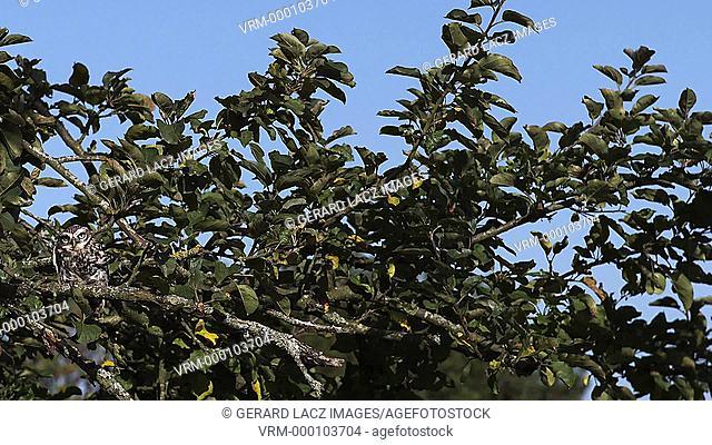 Little Owl athene noctua taking off from apple tree, Slow motion