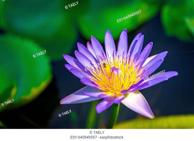 Nymphaea lotus linn. Nymphaeaceae