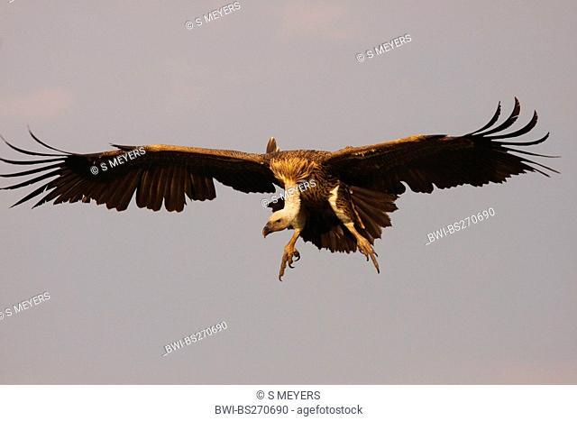 Ruppel's griffon, Rueppells griffon vulture Gyps rueppelli, Ruppel's griffon landing, Tanzania, Ngorongoro Conservation Area