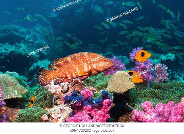 Coral hind Cephalopholis miniata, swimming over coral reef with soft corals, Red saddleback anemonefish Amphiprion ephippium and snappers in background  Andaman...