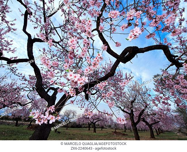 Almond trees in blossom at La Galera Village neighbourhood. Montsia Region, Tarragona Province, Catalonia, Spain