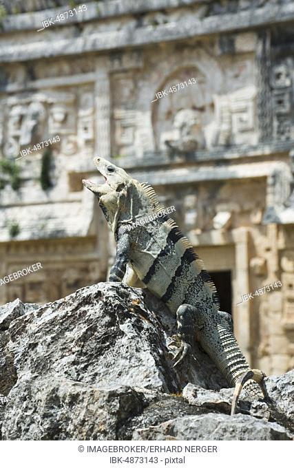 Black spiny-tailed iguana (Ctenosaura similis), Chichen Itza, Yucatan, Mexico, Central America