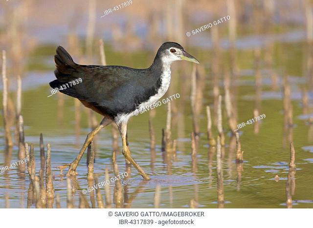 White-breasted Waterhen (Amaurornis phoenicurus), juvenile wading in a swamp, Khawr Jirama, Ash Sharqiyah South Governorate, Oman