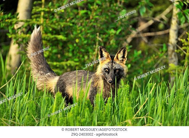 """A cross fox """"""""Vulpes vulpes"""""""", in summer coat looking through the tall meadow grass for small prey animals"""