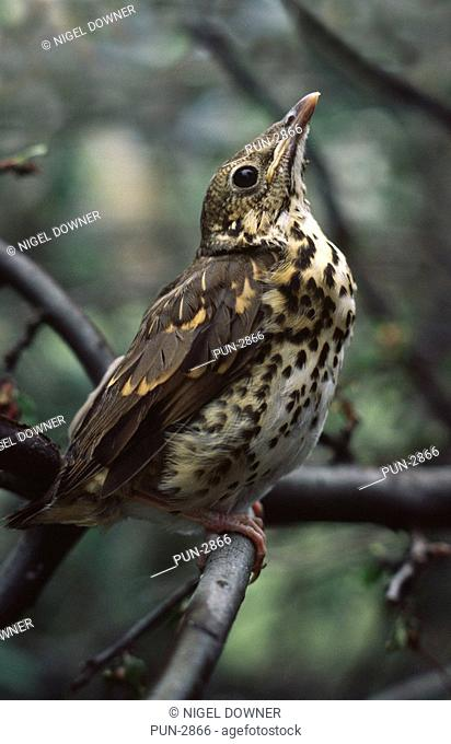 Young song thrush Turdus philomelos perched in tree in garden