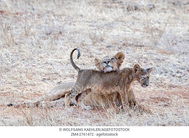 A lioness (Panthera leo) with a cub in the Samburu National Reserve in Kenya