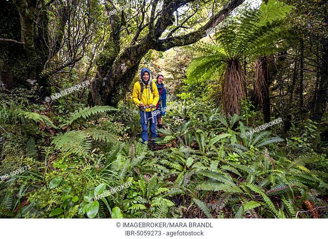 Hikers on hiking trail through rainforest, with tree fern, Pouakai Circuit, Egmont National Park, Taranaki, North Island, New Zealand, Oceania