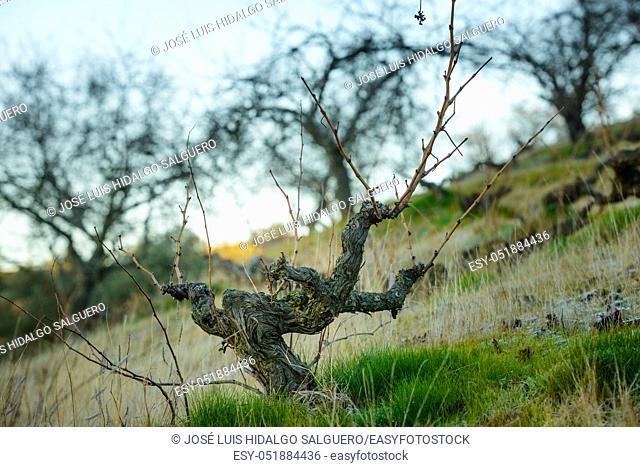 Vineyard in La Viñuela, Málaga, Andalusia, Spain, Europe