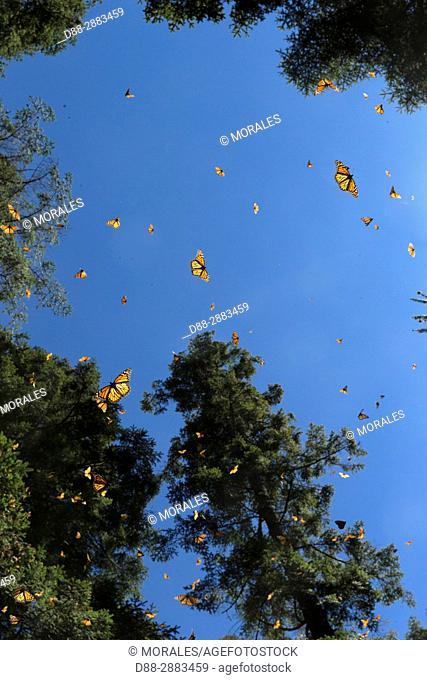 Central America, Mexico, State of Michoacan, Angangueo, Reserve of the Biosfera Monarca El Rosario, monarch butterfly (Danaus plexippus)