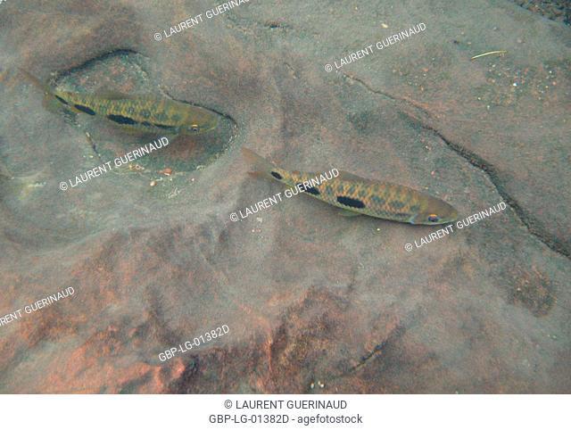 Fish, Piau, Leporinus friderichi, Bonito, Mato Grosso do Sul, Brazil