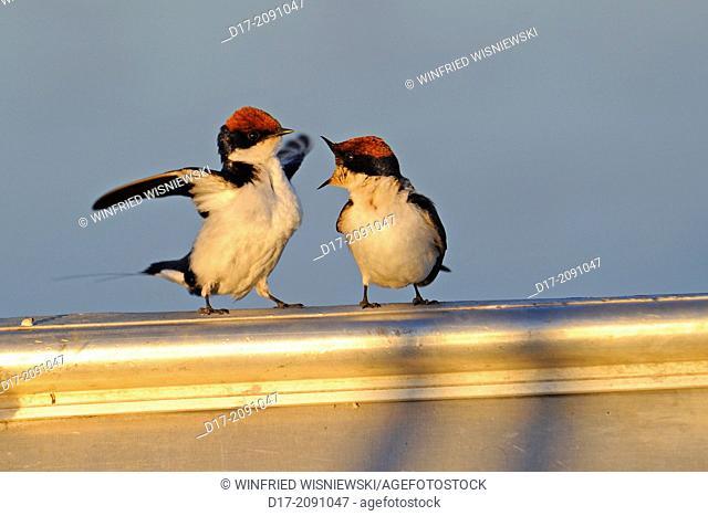 Two Wire-tailed swallows (Hirundo smithii) on a boat. Chobe National Park. Botswana