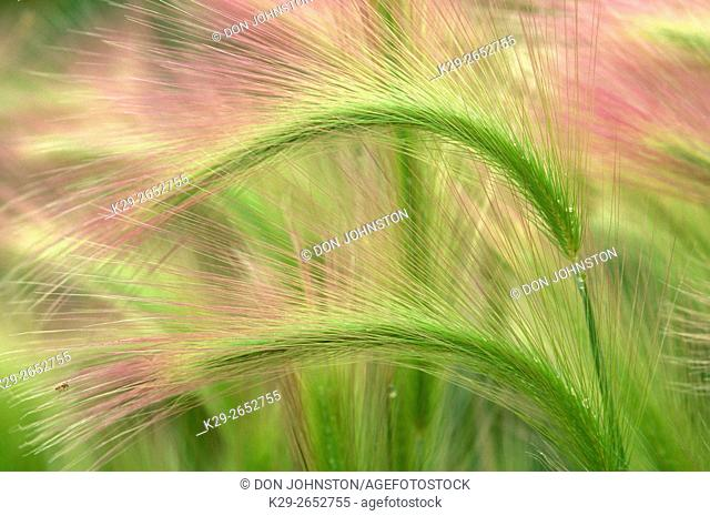 Foxtail barley (Hordeum jubatum L. ) seed heads, Sudbury, Ontario, Canada