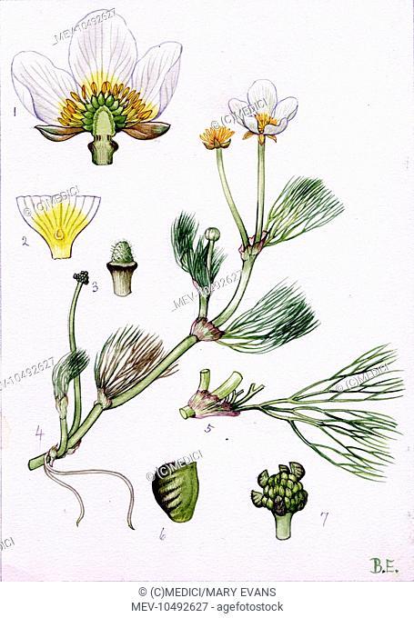 Ranunculus pseudo-fluitans - Dandy 46/22c