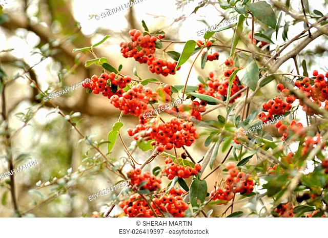 Orange firethorn berries on bush . Berries come out in fall and early winter. Great Thanksgiving or fall background image