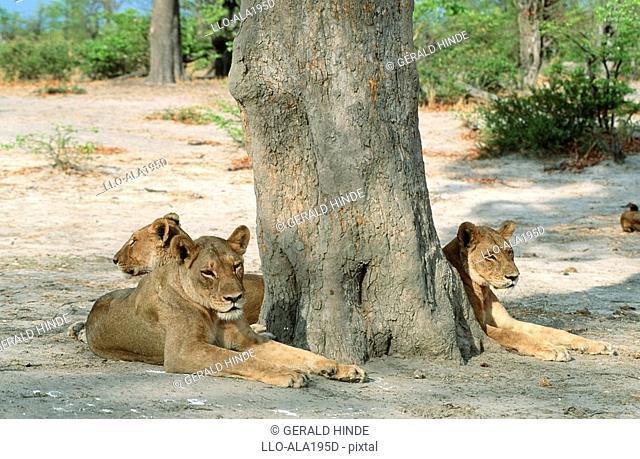 Lion Panthera leo Pride Lying Underneath a Tree  Savuti, Chobe National Park, Botswana