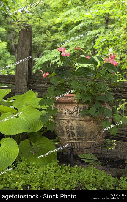 Hosta plant in front of old wooden rustic fence and ceramic terracotta planter with pink Begonia flowers in backyard country garden in summer, Quebec, Canada