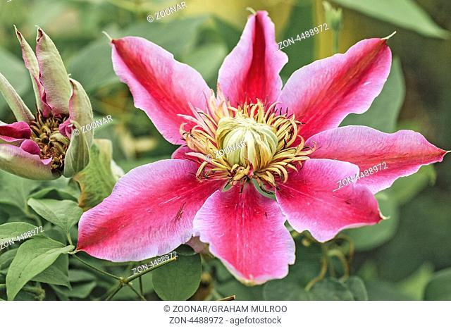 Clematis Flower (Ranunculaceae) UK