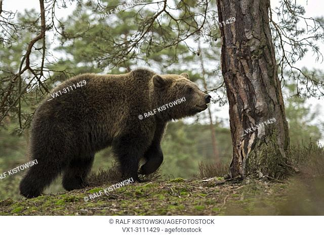 Eurasian Brown Bear / Braunbaer ( Ursus arctos ), young adolescent cub, walking up a little hill, in its natural surrounding, looks cute, Europe
