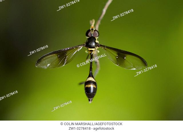 Mimic Hoverfly (Allobaccha sp, Syrphidae Family, Diptera Order) mimicking a thin-waisted Sphecid wasp, Klungkung, Bali, Indonesia