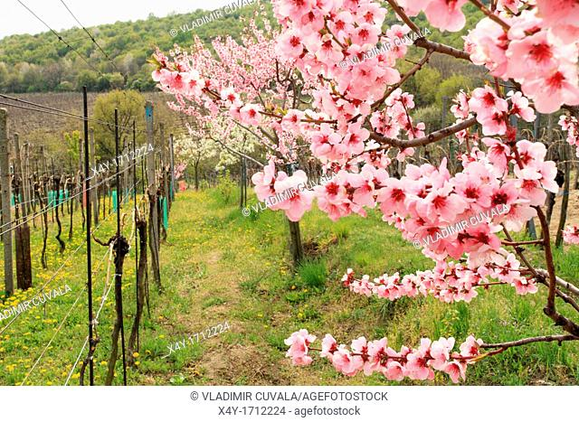 The pink blossoms of a peach tree at the vineyards near Modra, Slovakia