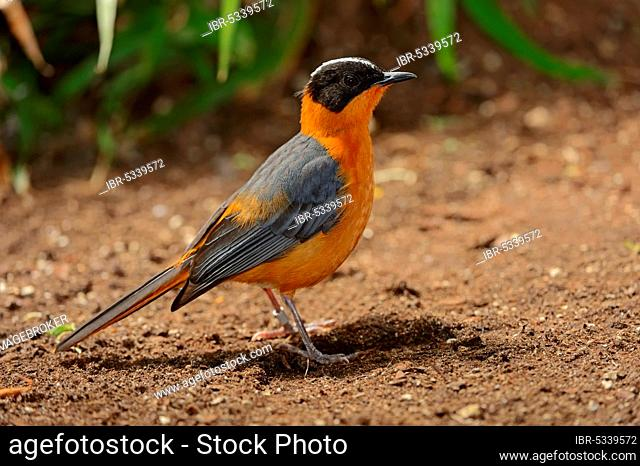White-crowned Robin Chat, Snowy-crowned (Cossypha niveicapilla) Robin-Chat, Snowy-headed Robin-Chat
