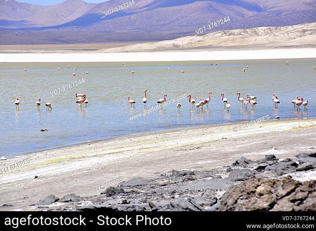 Salar de Surire Natural Monument. Flamingos. Norte Grande de Chile
