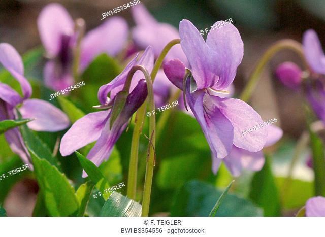 early dog-violet (Viola reichenbachiana), flower, Germany