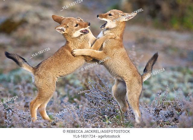 Ethiopian wolf pups wrestling