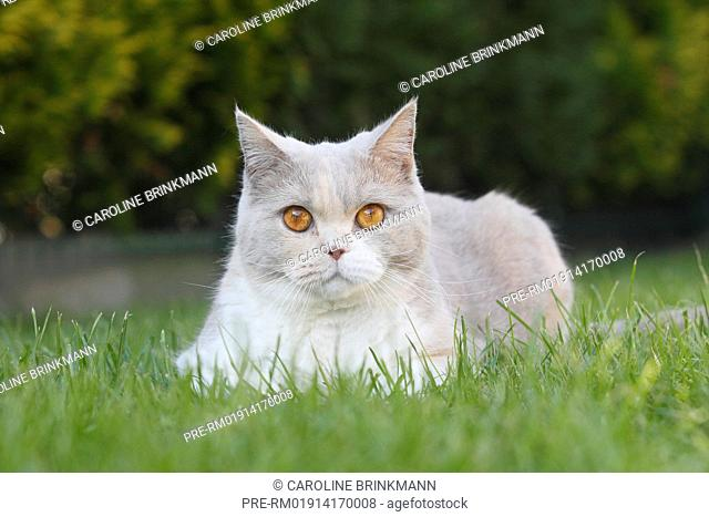 British Shorthair, cat / Britisch Kurzhaar, Katze