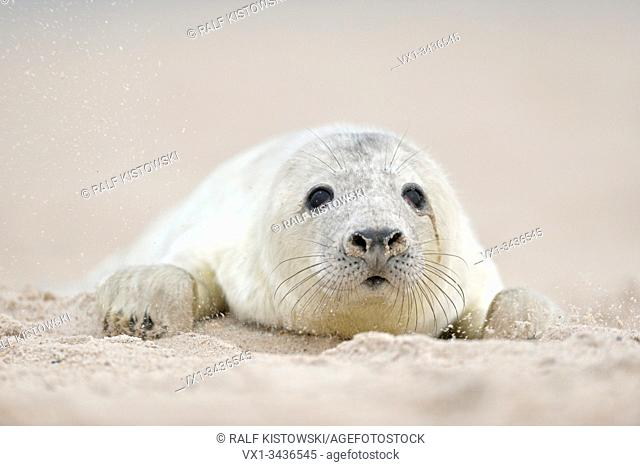 Grey Seal ( Halichoerus grypus ), young pup, fluffy white fur, coat, crawling over the beach, searching for its mum, looks cute, wildlife, Europe.