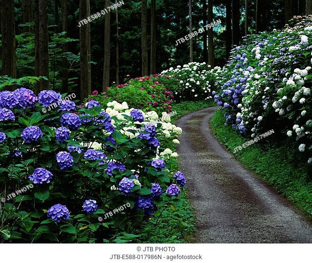 Michinoku hydrangea garden, flower, hydrangea, Ichinoseki, Iwate, Tohoku, Japan, July