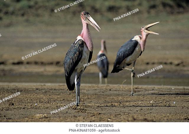 Marabou stork Leptoptilos crumeniferus - Lake Bogoria National Reserve, Kenya, Africa
