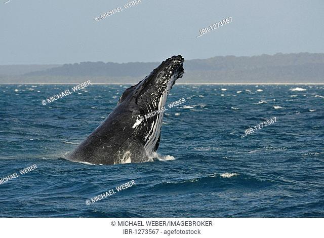 Typical breach, breaching, screw jump, Humpback Whale (Megaptera novaeangliae), Hervey Bay, Fraser Island at back, Queensland, Australia