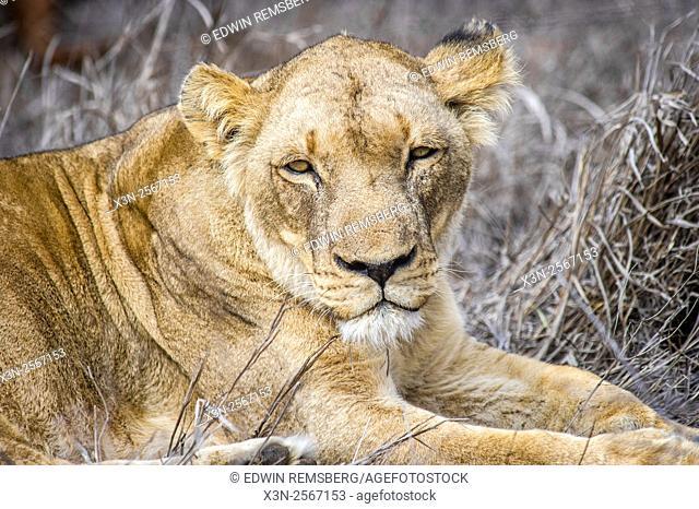 Female lion (Panthera leo) at Hlane Royal Game Preserve, Swaziland, Africa