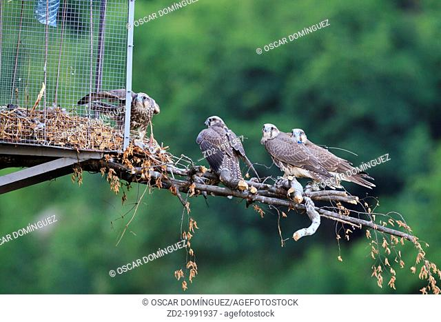 Young Saker Falcons (Falco cherrug) perched on hack box. Bulgarian Saker Reintroduction Project. Central Balkan National Park. Bulgaria