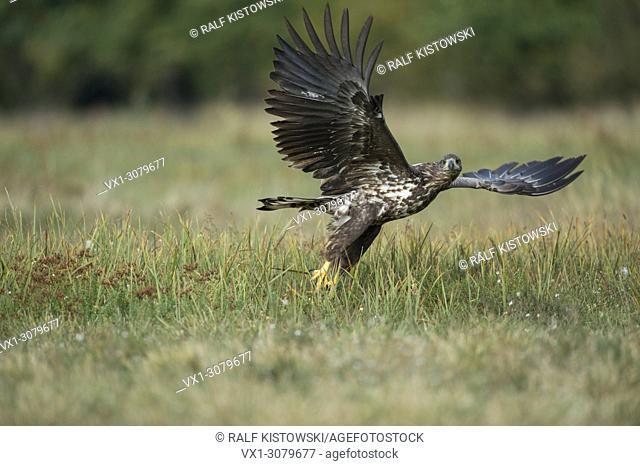 White-tailed Eagle / Sea Eagle ( Haliaeetus albicilla), subadult, takes off from a pasture, after disturbance, looks directly into the camera, wildlife, Europe