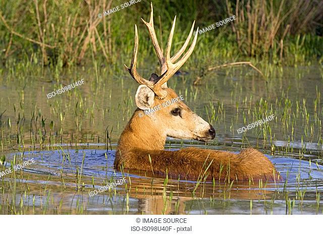 Marsh deer stag
