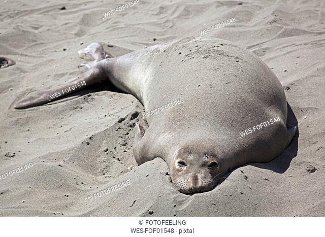 USA, California, California sea lion lying on beach