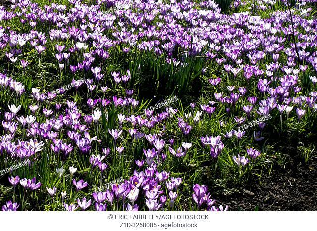 spring crocuses Montrose. Scotland UK